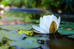 Weiße Lilien stockfotos