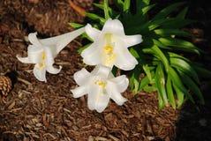 Weiße Lilien. Stockfoto