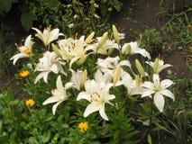Weiße Lilien Stockbilder