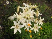 Weiße Lilien Lizenzfreies Stockbild