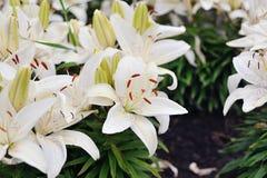 Weiße Lilien in der Blüte Stockfotos