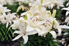 Weiße Lilien in der Blüte Stockfotografie