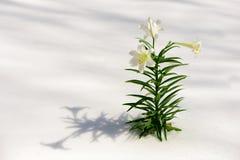Weiße Lilien im Schnee Stockfotos