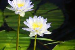 Weiße lillies Stockfotos