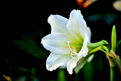 Weiße Lilly Blume Lizenzfreies Stockbild