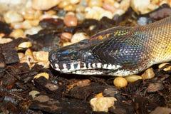 Weiße lippige Pythonschlange Stockbilder