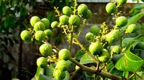 Weiße Longan-Frucht Matalada-Vielzahl Stockfotografie