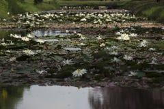 Weiße lotuses Stockfoto
