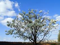 Weiße Magnolie Lizenzfreie Stockfotografie