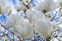 Weiße Magnolie Lizenzfreies Stockbild