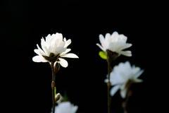 Weiße Magnolie auf dunklem Hintergrund Stockfotografie