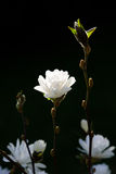 Weiße Magnolie auf dunklem Hintergrund Lizenzfreie Stockfotos