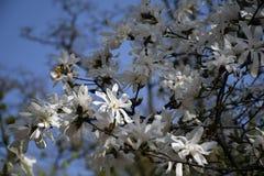 Weiße Magnolie gegen den blauen Himmel Stockfoto