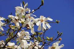 Weiße Magnolie stellata Blüte Stockbild