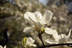 Weiße Magnolieblüte Stockfotos
