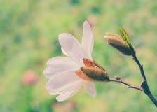 Weiße Magnolieblume Stockfoto