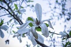Weiße Magnolieblume Lizenzfreies Stockfoto