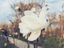 Weiße Magnolieblume Stockfotos