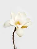 Weiße Magnolieblume Stockbild