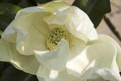 Weiße Magnolieblume Lizenzfreie Stockbilder