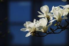 Weiße Magnolieblumen Stockbilder