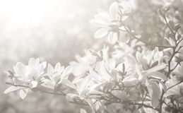 Weiße Magnolieblumen Stockbild