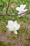 Weiße Magnolienblume in der Blüte Stockfoto