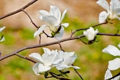 Weiße Magnolienblume in der Blüte Stockbilder