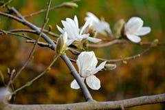 Weiße Magnolienblume in der Blüte Lizenzfreies Stockfoto