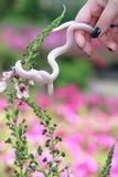 Weiße Mais-Schlange auf Blume lizenzfreie stockfotos