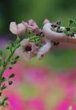 Weiße Mais-Schlange auf Blume stockfotografie