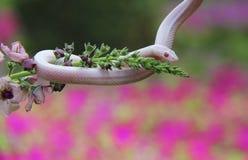 Weiße Mais-Schlange auf Blume stockfotos