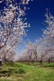 Weiße Mandel-Blüten Lizenzfreie Stockfotos
