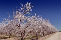 Weiße Mandel-Blüten Stockfotos
