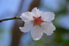 Weiße Mandelblume Lizenzfreies Stockbild
