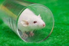 Weiße Maus im transparenten Glas auf einem Hintergrund des grünen Grases Stockbild