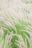 Weiße mexikanische Rasenfläche im windigen Stockbilder
