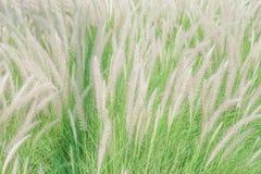 Weiße mexikanische Rasenfläche im windigen Stockfotos