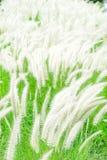 Weiße mexikanische Rasenfläche im windigen Stockbild