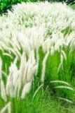 Weiße mexikanische Rasenfläche im windigen Lizenzfreie Stockfotografie