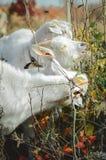 Weiße Milchziegen essen grüne Blätter Bauernhof Vertikales Foto lizenzfreies stockfoto
