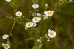 Weiße Miniaturgänseblümchen auf einem grünen Hintergrund Lizenzfreie Stockfotos