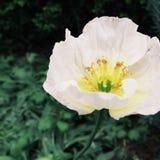 Weiße Mohnblume Stockfotos