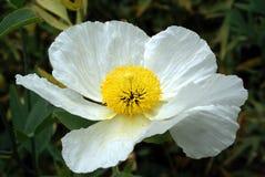 Weiße Mohnblume Lizenzfreie Stockbilder