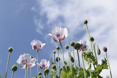 Weiße Mohnblume stockbild