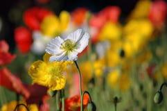 Weiße Mohnblume im Garten Stockbild