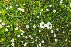 Weiße Mohnblumen und Gänseblümchen auf grünem Gras an einem sonnigen Tag lizenzfreies stockfoto