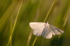 Weiße Motte Lizenzfreies Stockfoto