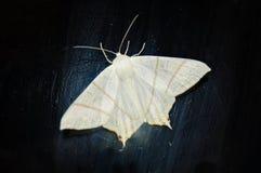Weiße Motte auf einem schwarzen Hintergrund Stockfotos