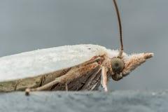 Weiße Motte mit grünen Augen auf grauer Oberfläche stockbilder